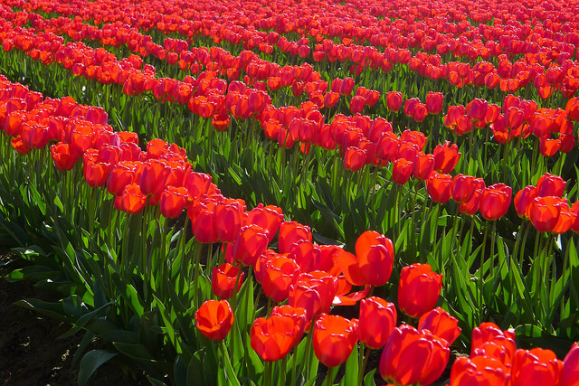 tulips06