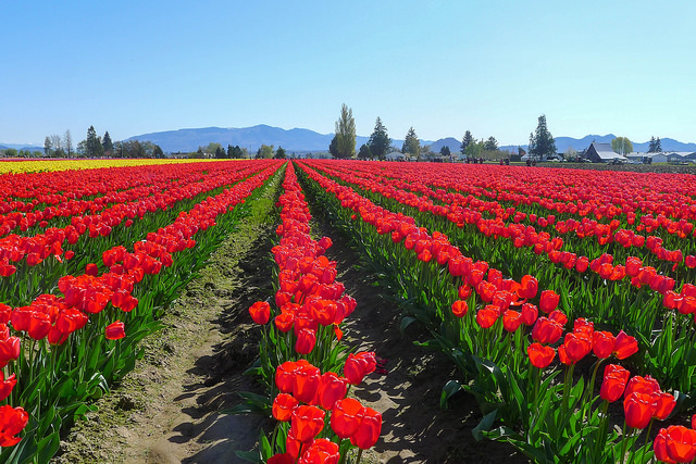 tulips07