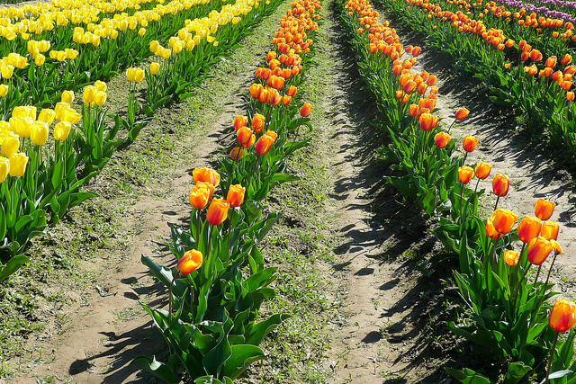 tulips15