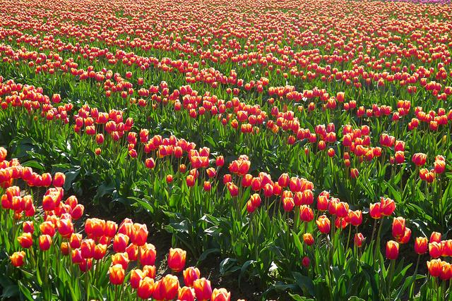 tulips17