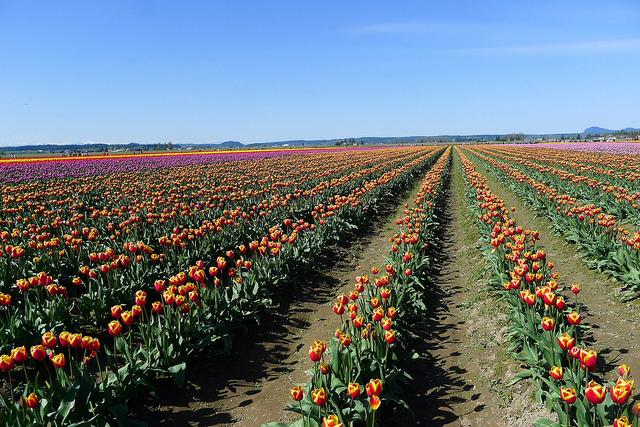 tulips18