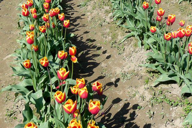 tulips19
