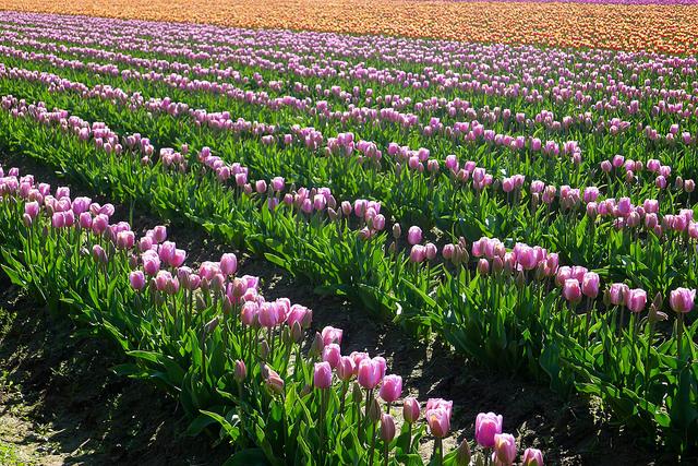 tulips23