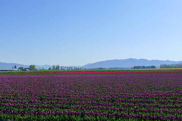 tulips24