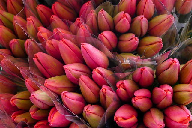tulips31