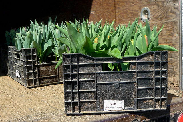 tulips33