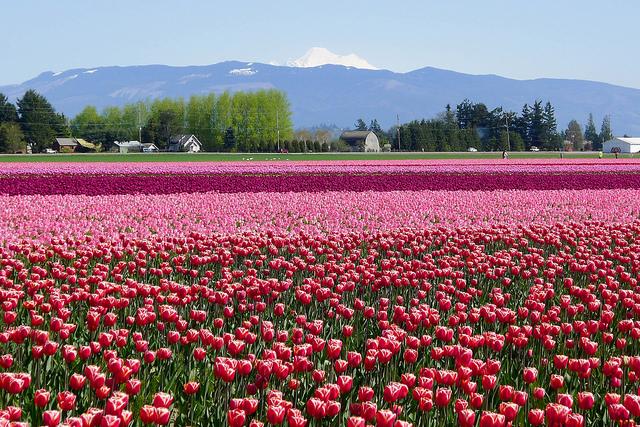 tulips35