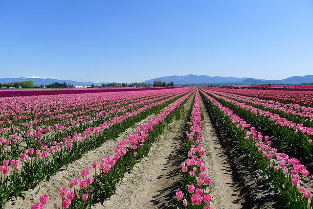 tulips38