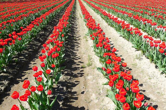 tulips39