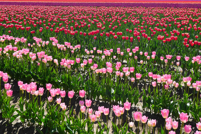 tulips42