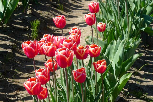 tulips43