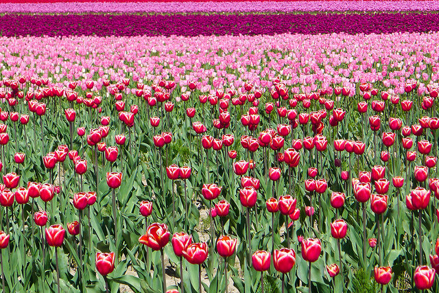 tulips46