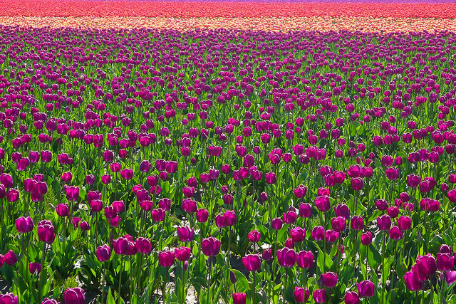 tulips47